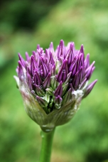 Plants_Allium1