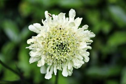 Plants_Cephalaria