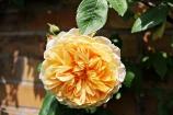 Plants_GoldenWedding