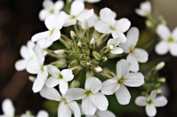 Plants_Hesperis