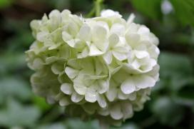 Plants_Hydrangea