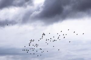 RR Birds